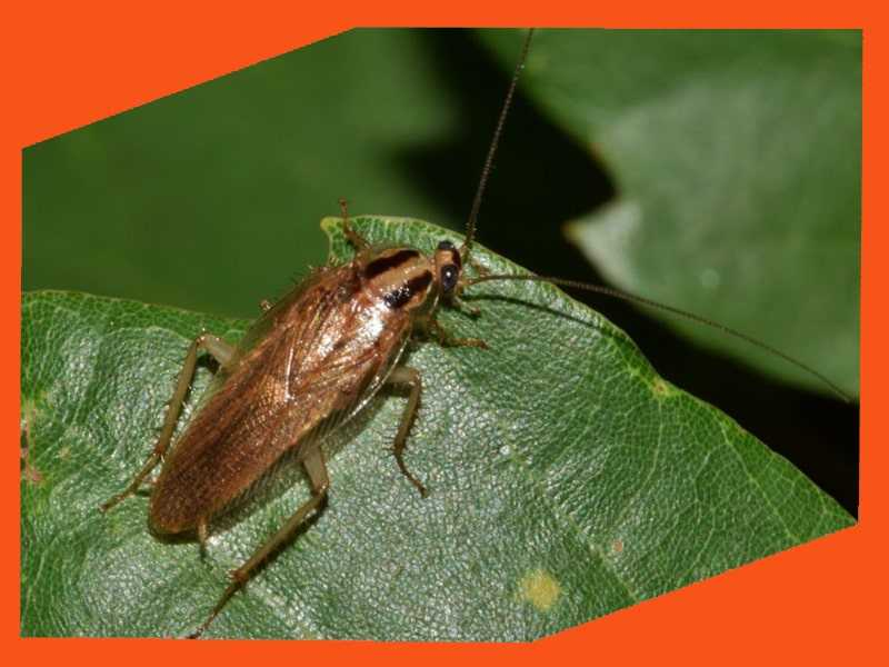 Уничтожение тараканов Йошкар-Ола